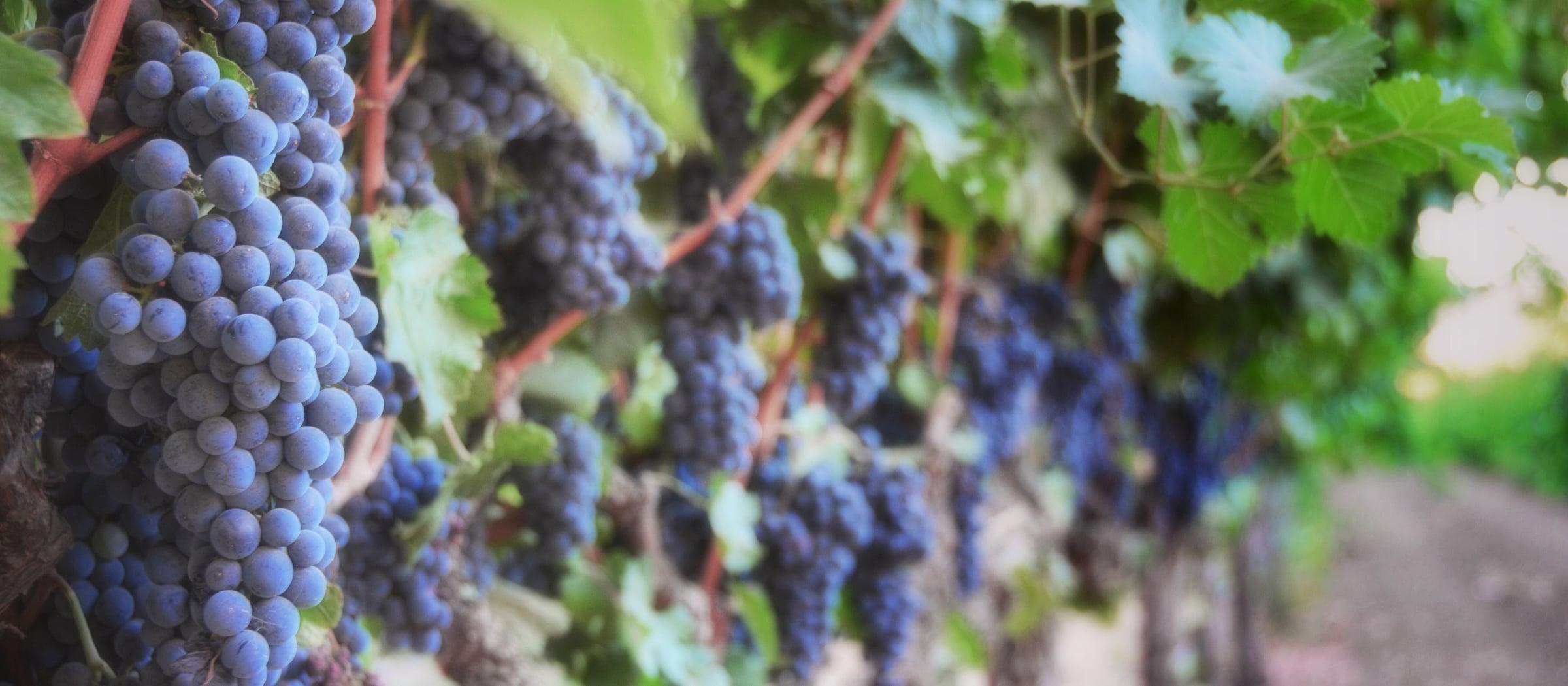 Wein Trauben Pistor Sortiment